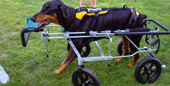 Eddie's Wheels, Quad Dog Wheelchair: Photo: Eddie's Wheels