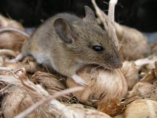 Gold enhanced FSH identified cancerous tumors in mice.: image via the Scottish Rock Garden Club (srgc.org.uk)