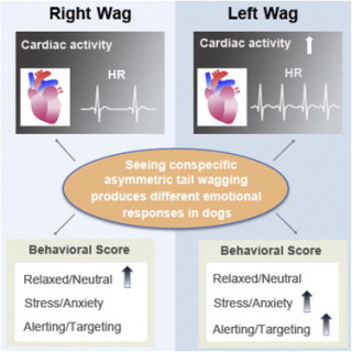 Graphic from: Seeing Left-or-Right Asymmetric Tail Wagging Produces Different Emotional Responses in Dogs: image via cell.com