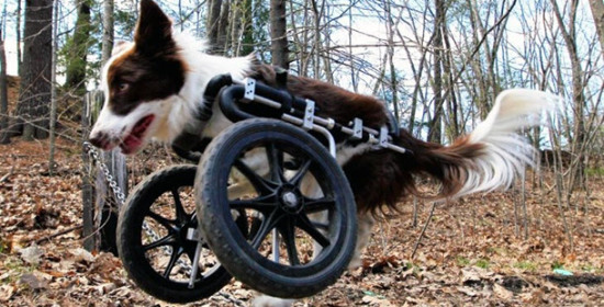 """Roosevelt"" in his front wheel Eddie's Wheelchair: Photo: Eddie's Wheelchairs"