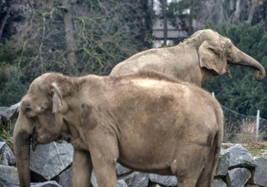 Baby and Nepal have TB and are awaiting their fate in a French zoo: image AFP via thehindu.com