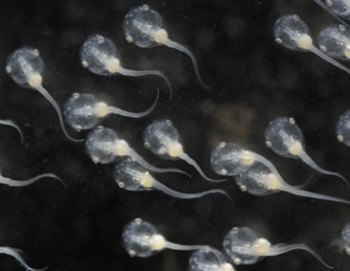 Xenopus tadpoles: Photograph credit: David Freiheit