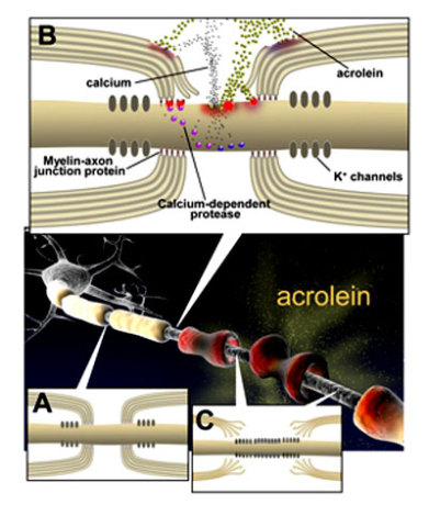 """A"" represents the normal structure of nerve fibers and myelin; ""B"" represents how acrolein is thought to damage myelin and cell membranes; and ""C"" shows how nerves with damaged myelin cannot properly conduct signals: Purdue University graphic/Michel Schweinsberg"