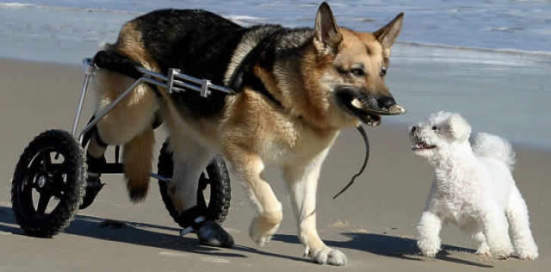 Dog wheelchairs are available for dogs with degenerative myelopathy and other diseases and injuries that can prevent dogs from normal use of their legs: image via bagofnothing.com