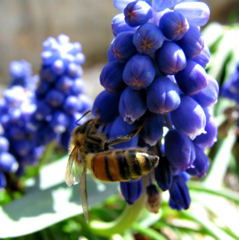 Bees at Work: Bees are responsible for a large percentage of pollination