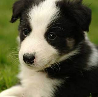 Border Collie puppy: image via http://pbump.net/animals/