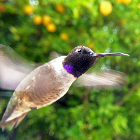 Bird Photo Booth in-flight image (Hummingbird)