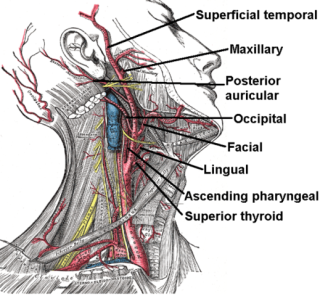 External carotid artery: image via wikimedia commons