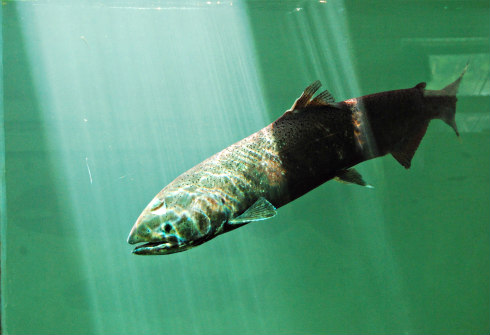 Farm-raised Salmon isn't normally as nutricious as wild salmon: Genetically engineered fish bred in captivity