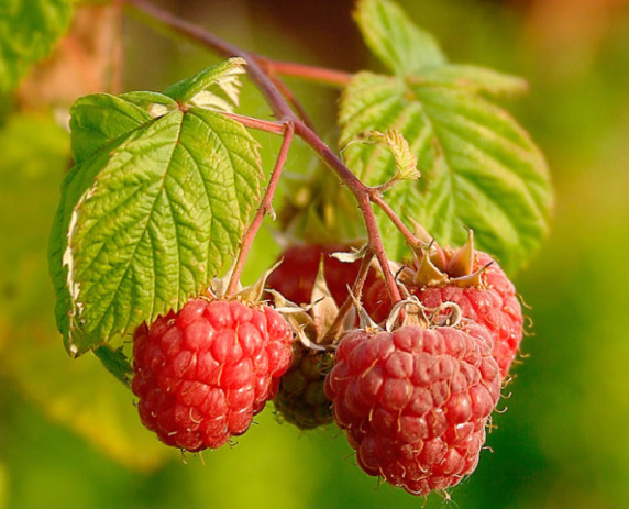 Raspberries (Photo by Juhanson/Creative Commons via Wikimedia)