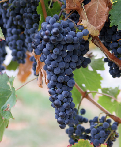 Grapes (Photo by Fir0002/Creative Commons via Wikimedia)