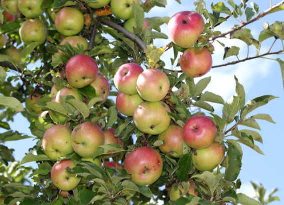Apples (Public Domain Image)