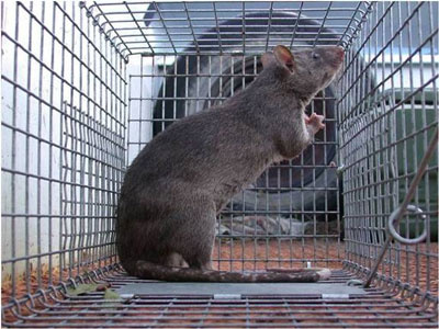 A Gambian rat in a cage. (Florida Fish and Wildlife Conservation Commission): image via myfoxmemphis.com
