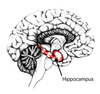 The human hippocampus: image via nmr.mgh.harvard.edu