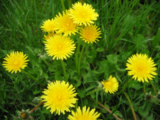 Russian dandelion yields the best rubber: image via tires-easy.com