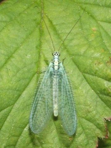Green Lacewing (Photo by Lairich Rig/Creative Commons via Wikimedia)