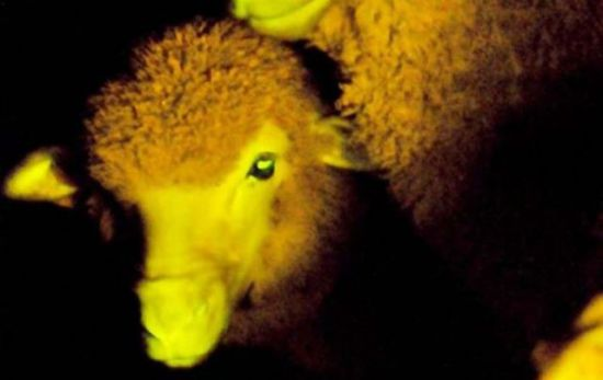 One of nine Uruguayan glow-in-the-dark sheep: image via en.mercopress.com