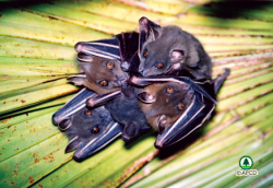 Short nosed fruit bats go for it!: image via afcd.gov.hk
