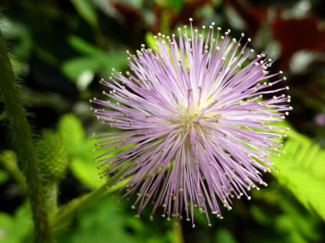 Mimosa Pudica (Photo by Becks/Creative Commons via Wikimedia)