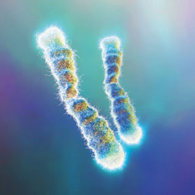 Telemares are the bright caps at the ends of these chromosomes: Image by Photo Researchers, Inc., via scientificamerican.com