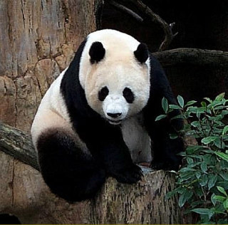 An adult giant panda eats from 20 - 40 pounds of bamboo a day: image via justanimalpic.com