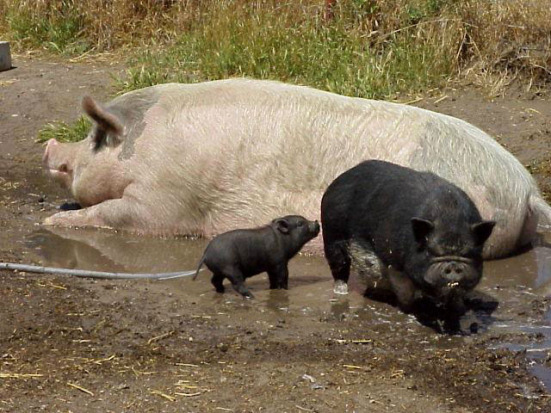 A baby potbellied pig, a full-grown potbellied pig, and a farm hog. (via SCAMPP)