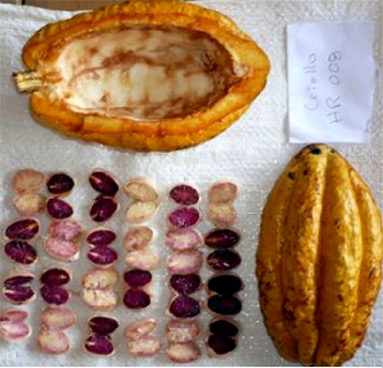 Inside the large pod are very distinctive purple and white cacao beans: © Moonstruck Chocolate
