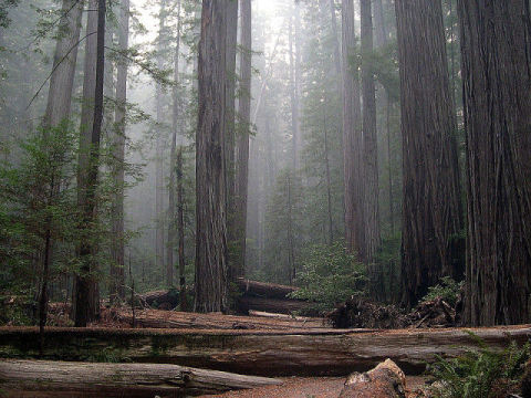 Redwood Trees in Humboldt Redwoods State Park, California (Photo by Jason Sturner/Creative Commons via Wikimedia)