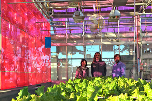 Soliculture Solar Greenhouse Panels: Magenta-colored solar panels (image courtesy of Soliculture)
