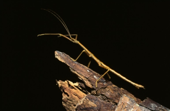 Walking stick insect: image via funkman.org