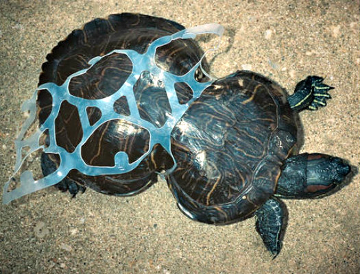 Turtle Stuck in Six-Pack Ring: Saltwater Brewery is working to stop this (image via Saltwater Brewery/We Believers)