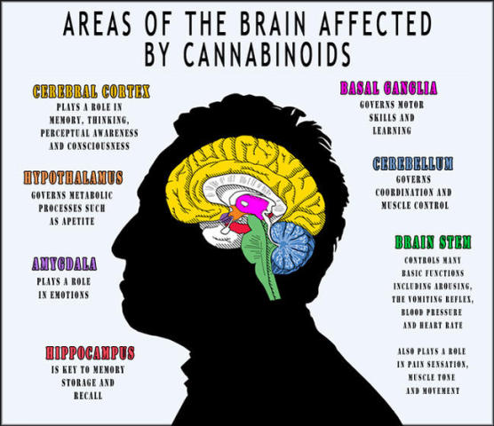 How Cannabinoids Affect The Brain: image via icmag.com