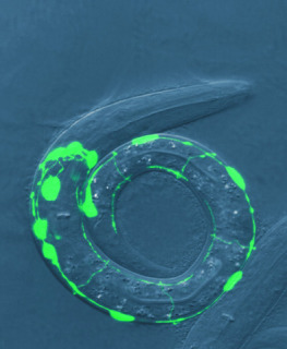 Nematode Worm: University of Utah