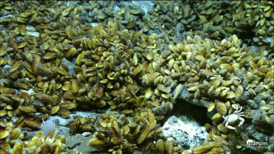 Mussels at the Logatchev hydrothermal vent site are powered by hydrogen: © MARUM